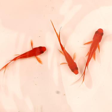 聚宝源 6-8cm红草鲫10条,防运损多发2条