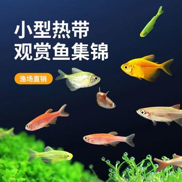 聚宝源 热带观赏鱼1.8-2.5cm七色斑马鱼套餐 随机发7条
