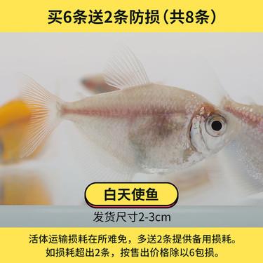聚宝源 热带观赏鱼2-3cm白天使鱼6+2条备损